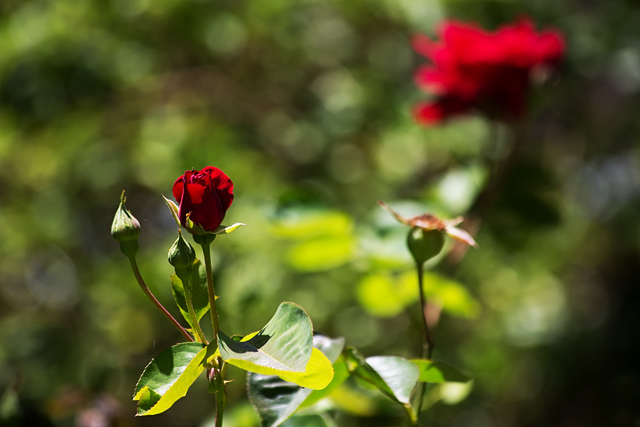 New red rose with bokeh