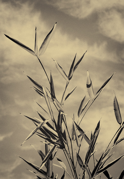 Tintyped bamboo against sky