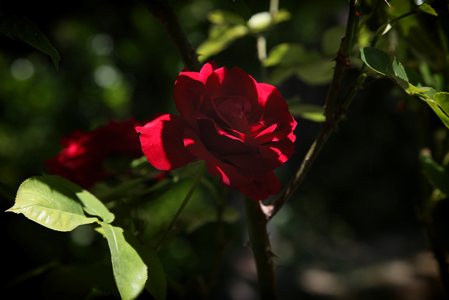 Red rose in the shade