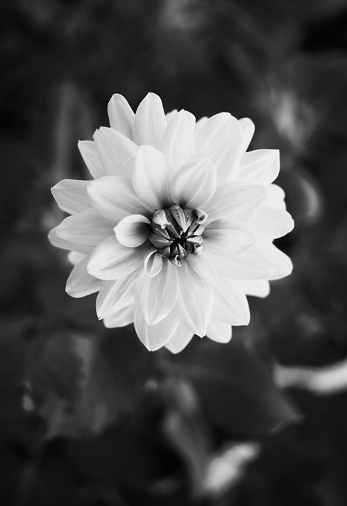 Red dahlia converted to black and white