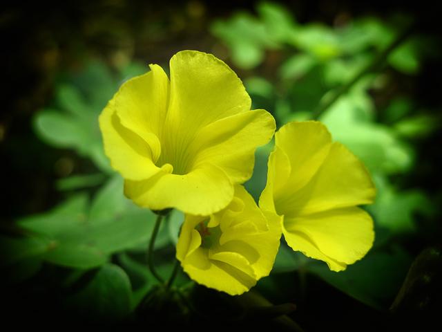 Sour grass flowers
